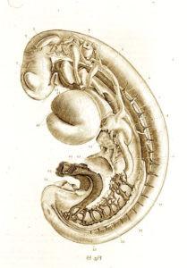 Embryo-Blechsmith-209x300
